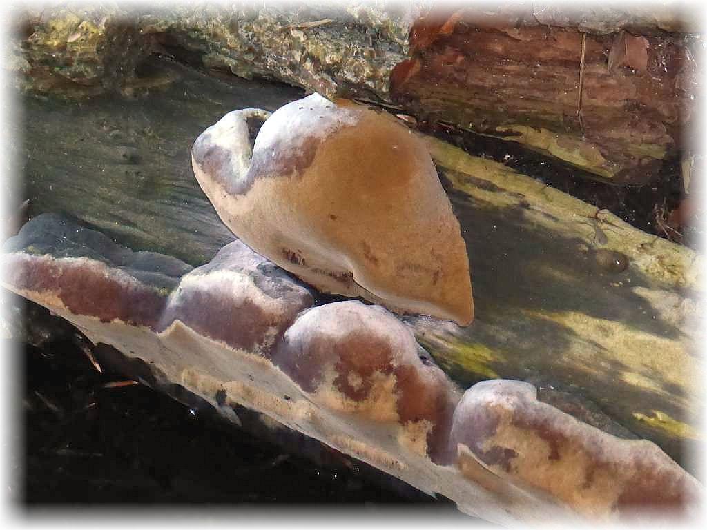 An einem alten Weidenstamm, der direkt über dem Wasser des Schweriner Sees auslegte, wuchsen diese jungen Gemeinen Feuerschwämme (Phellinus igniarius) heraus.