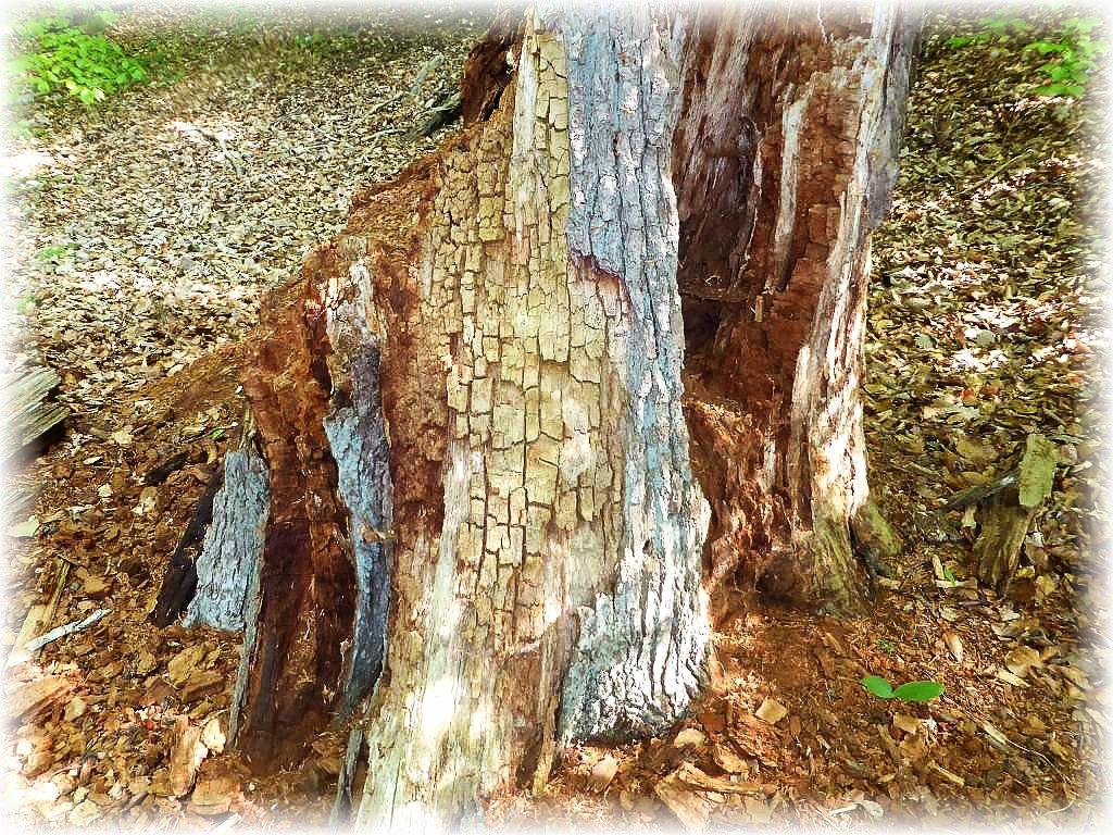 Dieses Schadensbild an dem alten Baumstamm dürfte dem Schwefelporling zuzuschreiben sein. Er zerstört das Kernholz, das dann würfelförmig zerfellt = Braunfläule.
