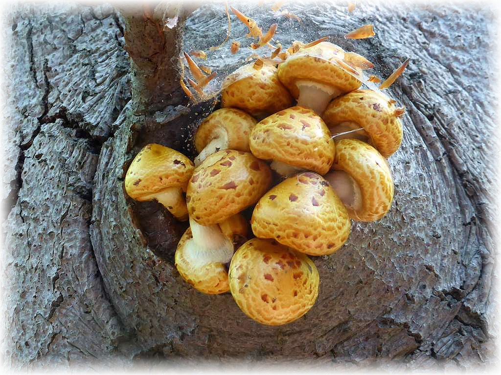 In luftiger Höhe an einer alten Buche ein Büschel Hochthronender Schüpplinge (Pholiota aurivella). Dieser Herbstpilz ist im Frühling garnicht so selten. Im Gegensatz zum ähnlichen Sparrigen Schüppling, liegen hier die bräunlichen Schuppen eng eingebettet in eine Schleimschicht direkt am Hut an. Ungenießbar.b