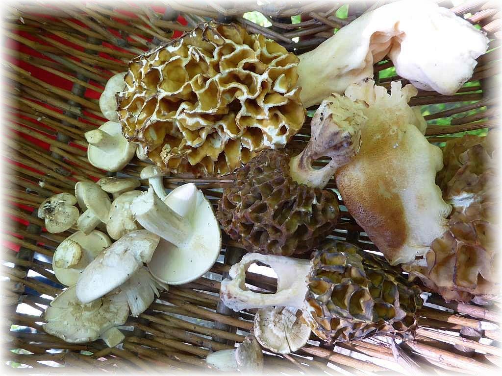 Er konnte noch mit seinen Pilzgeschärften Augen einige Maipilze und Morcheln zwischen den bereits üppigen Kräutern entdecken.