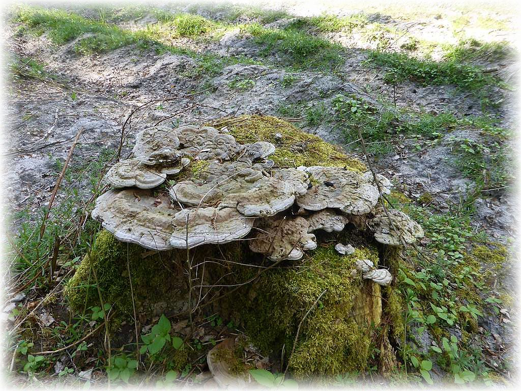 Wo keine Stockschwämmchen an den alten Subben zu sehen waren, wurden diese von mächtigen Flachen Lackporlingen besiedelt. In wenigen Jahren werden die Stubben wohl aufgebraucht und verschwunden sein.