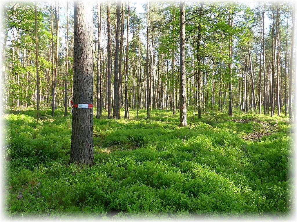 Immer wieder mußten wir uns durch kniehohes Heidelbeergestrüpp den beschwerlichen Weg bahnen, um unsere Kartierungspunkte zu finden, die an einem mit rotweißen Band umgürtelten Baum von weiten sichtbar gekennzeichnet waren.