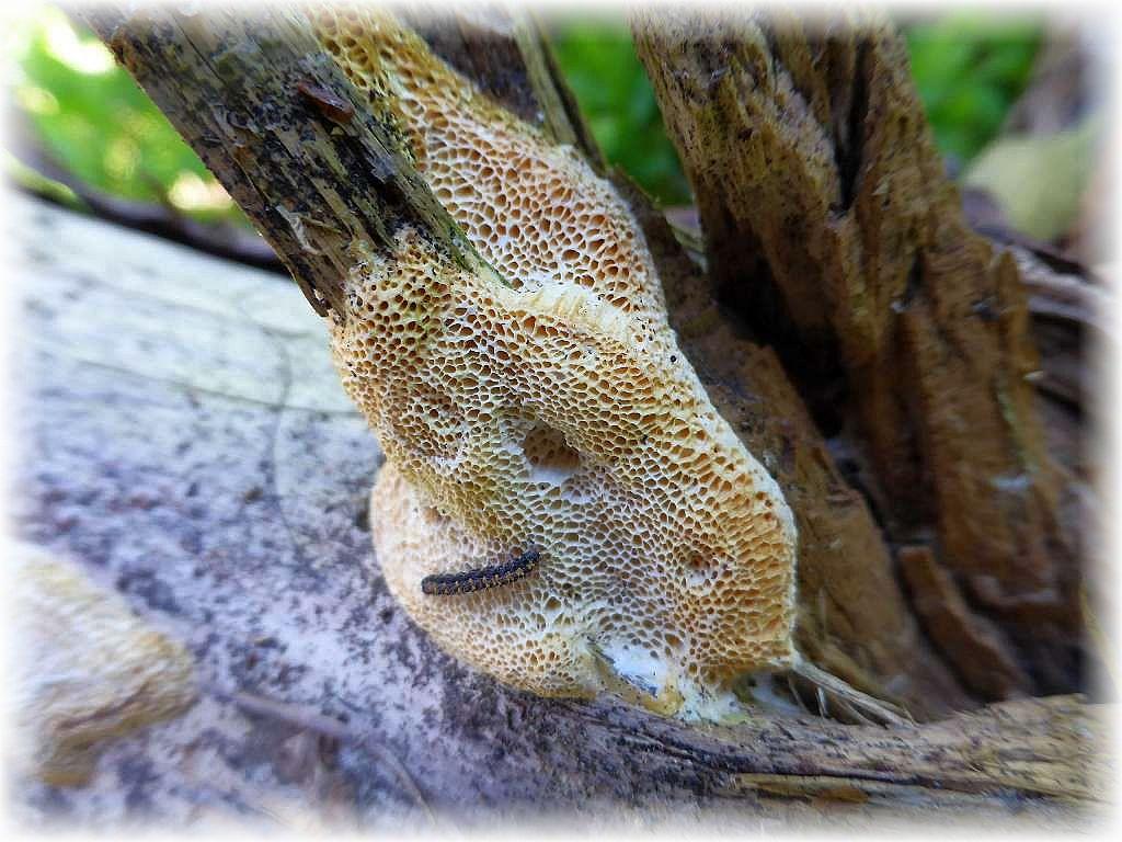 Hier eine Pilzart, die ganzjährig zu finden ist. Besonders in den Sandgebieten mit ihren umfangreichen Kiefernforsten. Macht man sich mal die Mühe und dreht am Boden liegende Stämme, so kann man mit etwas Glück dieser resupinaten Porlinge entdecken. Es handelt sich um die Ockergelbe Kieferntramete (Diplomitoporus flavescens). Natürlich nichts für den Kochtopf!