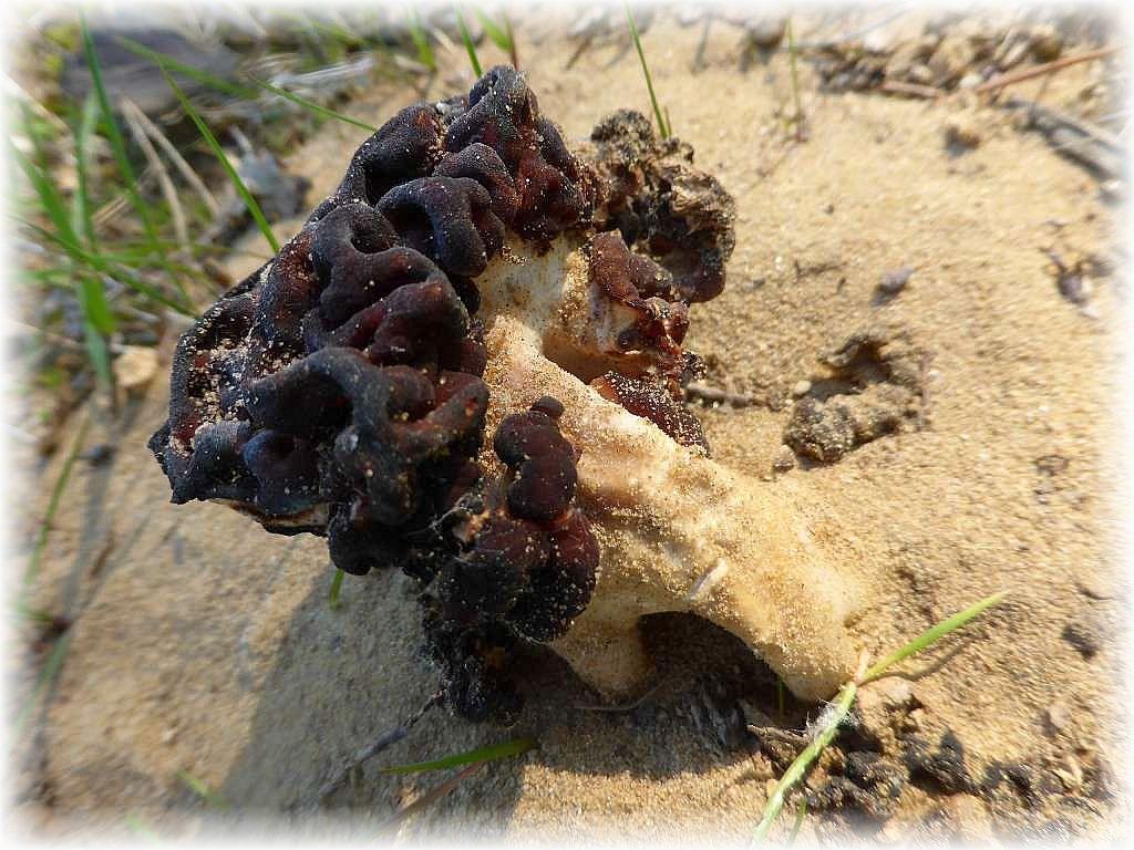 Pilzfreundin Angelika konnte heute noch eine späte Morchel in ihrem Garten entdecken und wir fanden in der letzten Woche noch im Eggesiner Forst in Vorpommern einige Frühjahrslorcheln, die sich aus dem Sand der Ueckermünde Heide quälten. Standortfoto am 11. Mai 2016.