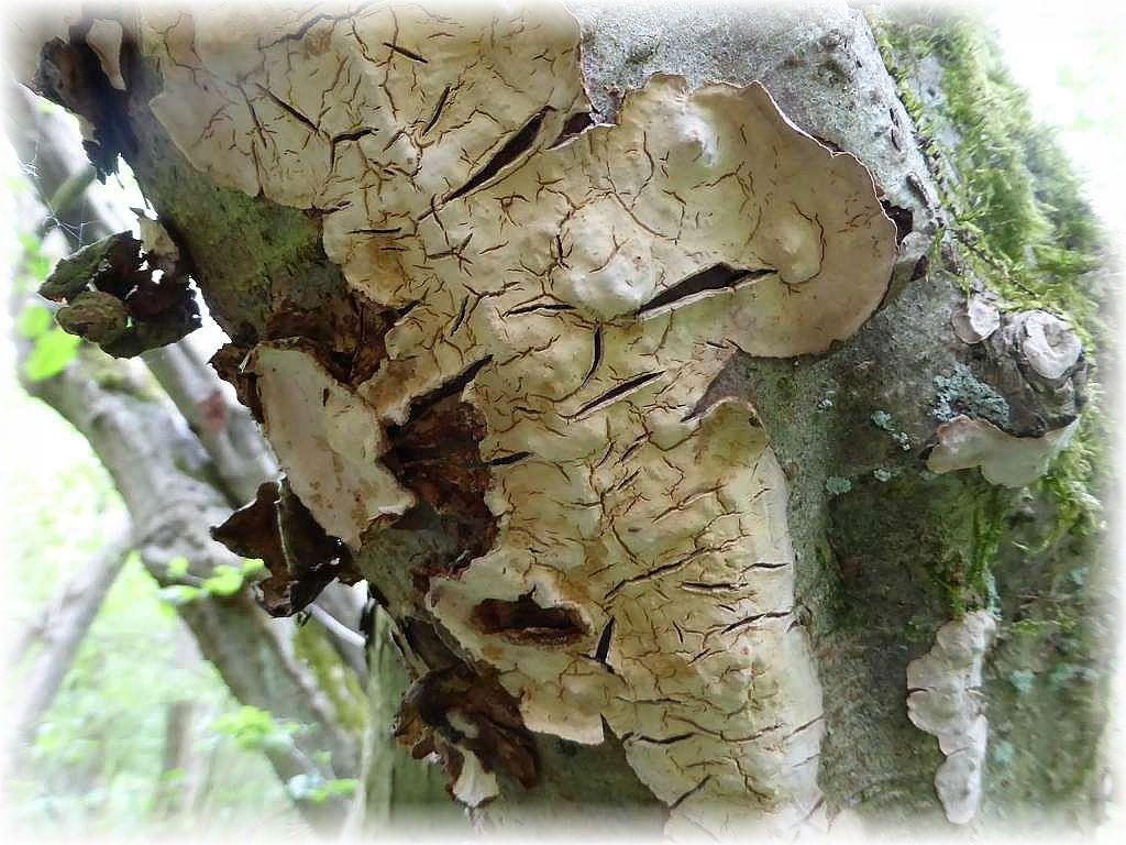 An altem Laubholz und vorwiegend resupinat finden wir sehr häufig den Runzligen Schichtpilz (Stereum rugosum). Bei Reibung rötet er.