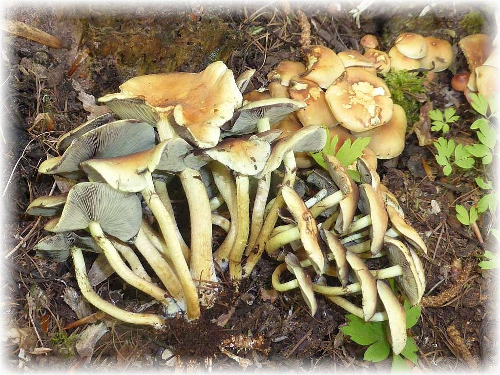 An alten Buchenstümpfen am Waldrand büschelte es reichlich. Auch wenn die Farbe hier etwas täuscht, es sind giftige und bitter schmeckende Grünblättrige Schwefelköpfe (Hypholoma fasciculare).