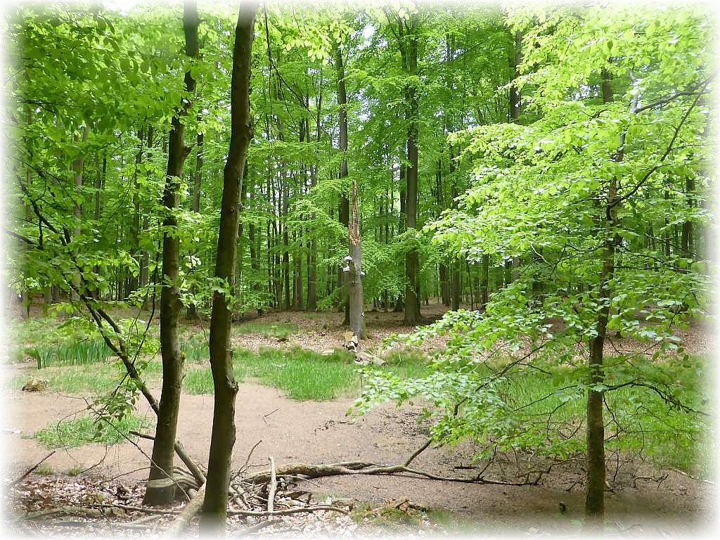 Ein kleiner Waldtümpel mit Echten Zuderschwämmen an dem Reststamm einer alten, abgebrochenen Buche.