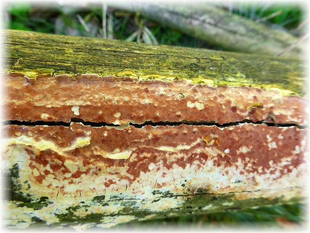 An Kiefernholz fanden wir diese recht auffälligen Weinroten Kiefern - Gloeoporlinge (Gloeoporus taxicola).