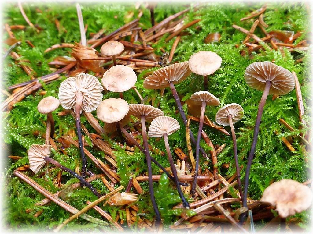In den Moospolstern der Fichtenwälder waren heute stellenweise schon die ersten Nadelschwindlinge (Micromphale perforans) erschienen. Sie sind nahezu die gesamte Pilzsaison in den Fichtenforsten als Bodendecker zu finden. Zerreibt man die Hüte zwischen den Fingern, entröhmt ihnen ein aufdringlicher, an Knoblauch erinnernder Geruch. Die Art darf aber nicht mit den wertvollen Küchenschwindlingen verwechselt werden, die einen reinen und angenehmeren Konoblauchgreuch verströhmen. Standortfoto am 25.05.2016 in den Redentiner Tannen.d