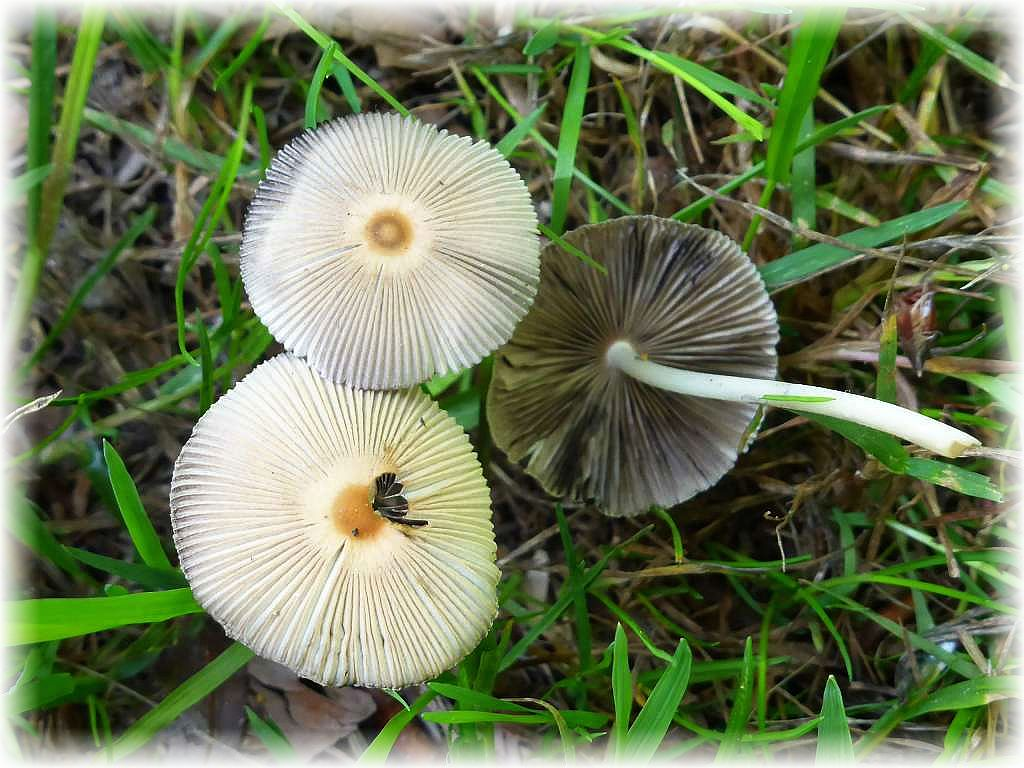 Auch dekorative Scheibchen - Tintlinge (Coprinus spec.) säumten den grasigen Waldweg.