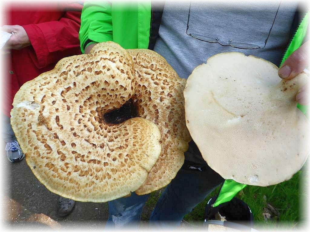 An alten Laubholz - Stubben große Schuppige Porlinge (Polyporus squamosus). Jung und zart können sie gegessen werden und schmecken nicht schlecht. Man achte auf den Geruch nach frischen Gurken!