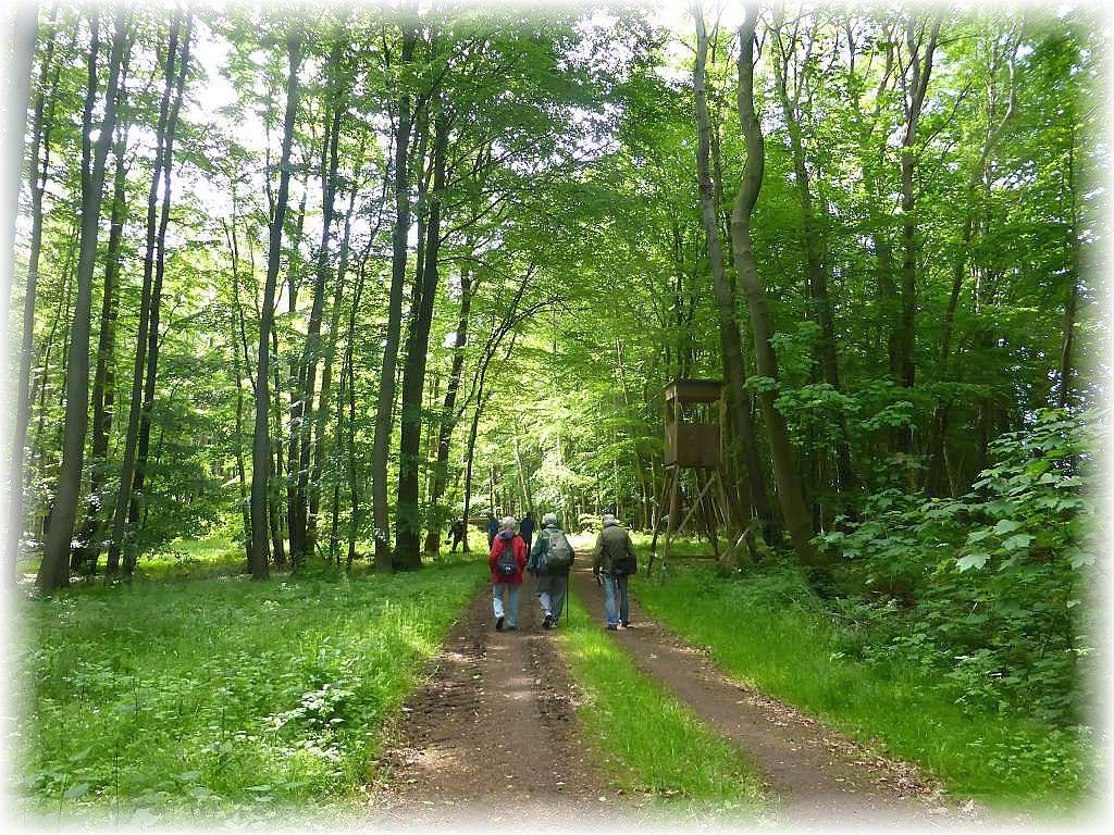 Weiter geht es durch den inzwischen üppig ergrünten Frühlingswald.