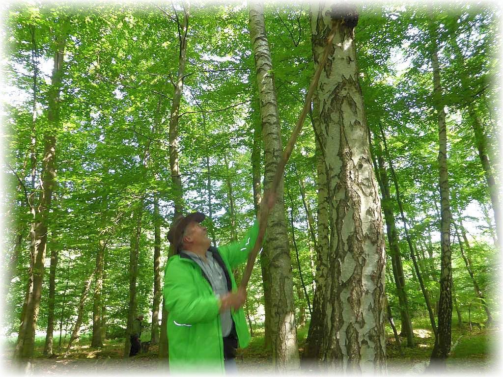 Praktisch ist es, wenn stabile Holzstangen in greifbarer Nähe im Wald herum liegen, wenn die Pilze einfach zu hoch am Stamm gewachsen sind. Wir vermuteten einen wertvollen Chaga - Pilz, aber es stellte sich heraus, dass es doch nicht der begehrte Schiefe Schillerporling war, sondern nur eine schwarze Wucherung von Birkenholz.