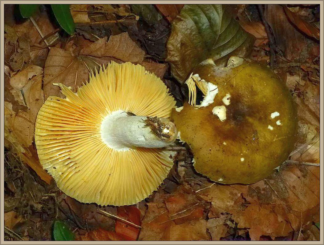 Brauner Leder - Täubling (Russula integra). Purpurbraun, Schokoladenbraun mit violettlichen und blutroten Tönen kann die Hutfarbe dieses Kiefernbegleiters sein. Die Blätter sind lange blass und werden schließlich ockergelb, sind sehr brüchig und am Grunde queraderig.. Der Stiel ist meist reinweiß, ebenmso wie sein Fleisch. Wir finden ihn von Juni bis Oktober unter Kiefern. Im Gebirge soll er als Massenpilz auch im Fichten- und Tannenwald vorkommen. Der Geschmack ist natürlich, wie es sich für Leder - Täublinge gehört, mild. Guter Speisepilz.
