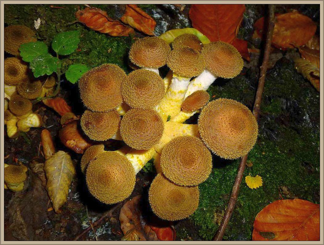 Gelbschuppiger Hallimasch (Armillaria lutea). Massenpilz wie auch die oben gezeigten Vertreter im Herbst an Stubben und auf Baumwurzeln scheinbar auf dem Boden. Er bevorzugt Laubholz und unterscheidet sich von anderen Arten hauptsächlich durch die vor allem in der Jugend zu Tage stretenden, gelblichen Schüppchen auf dem Hut und Stiel. Dieser ist oft an der Basis etwas keulig - aufgeblasen. Standortfoto im Babster Sack.