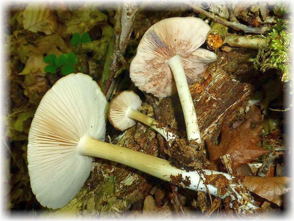 Breitblättriger Großrübling (Megacollybia platyphylla) und Rehbrauner Dachpilz werden häufig miteinander verwechselt. Dachpilze haben zunächst weiße, später fleischfarbene Lamellen.