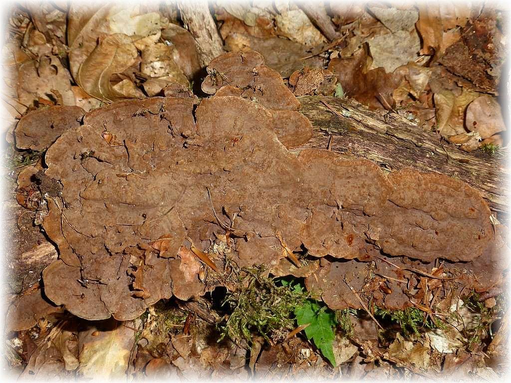 Der Rotbraune Borstenscheibling (Hymenochaete rubuginosa) mal etwas anders. Für gewöhlich bildet er abstehende Honsolen an alten Eichenstubben. Hier sehen wir ihn resupinat am alten Eichenast.