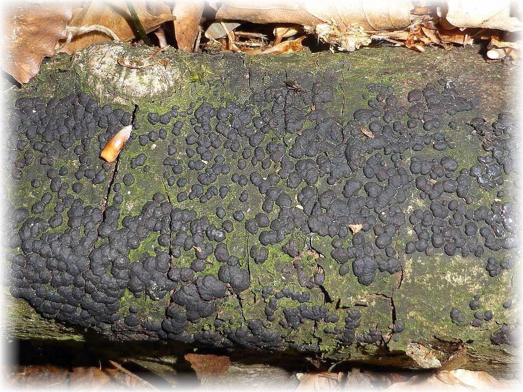 Die Zusammenfließende Kohlenbeere an einem toten Laubholzast.
