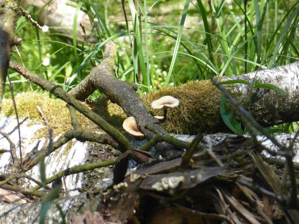 An diese Pilze war leider kein rankommen. Sie wuchsen auf totem Laubholz am Rande eines Sumpfes. Es dürfte sich um Stielporlinge handeln, wobei der schwarze Stiel auffällt.