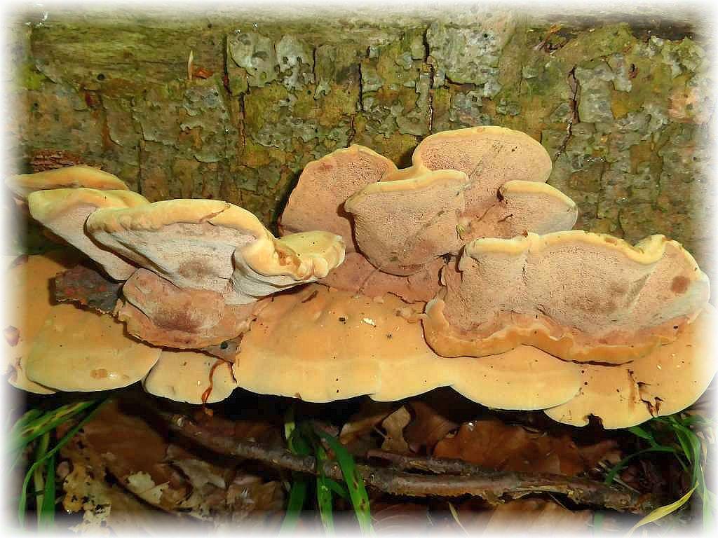 An einem liegenden Laubholz - Stamm etliche, ganz frische Konsolen des giftigen Zimtfarbenen Weichporlings (Hapalopilus rutilans). Die einjährige Art ist zum Färben von Wolle sehr beliebt.