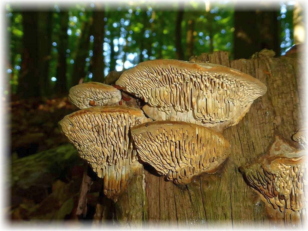 Unverwechselbar - der Eichenwirrling (Daedalea quercina) mit seiner charakteristischen, irrgarten ähnlichen Fruchschicht auf der Unterseite der korkigen Konsolen, die wir ausschließlich an Eichenholz finden.