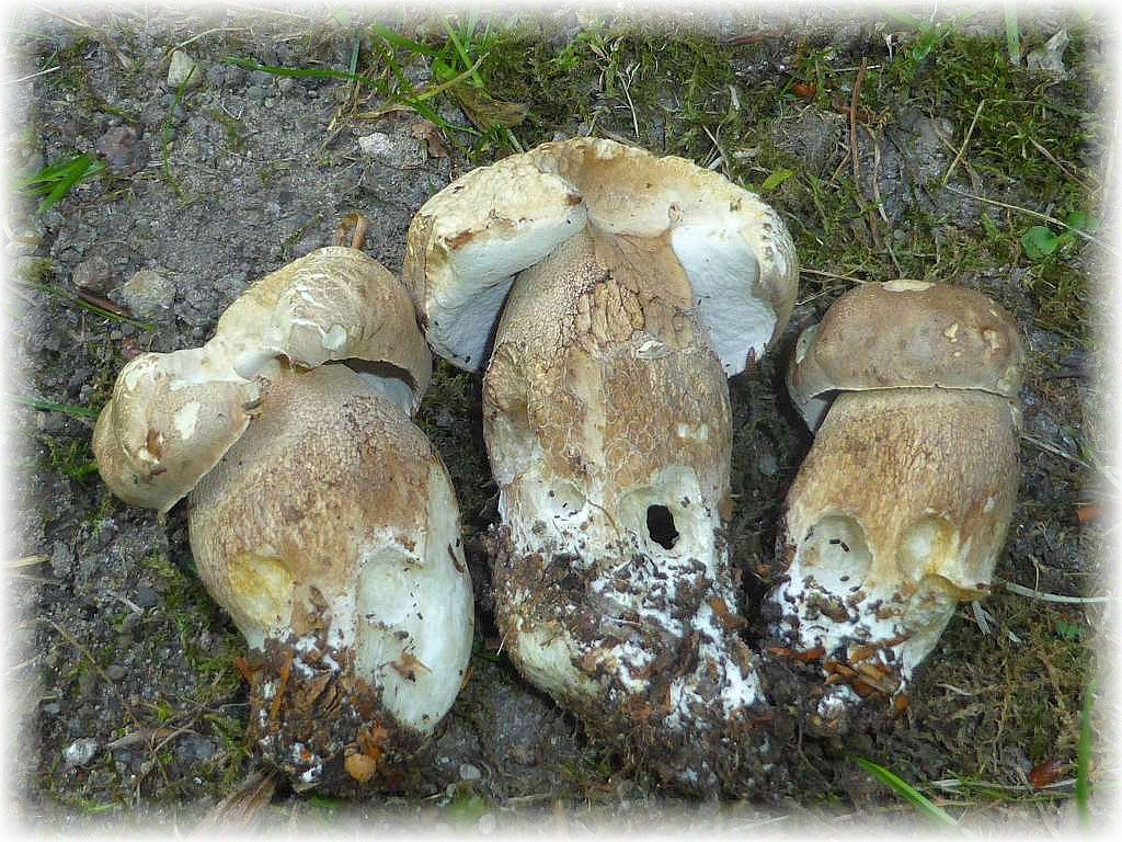 Die Sommersteinpilze (Boletus reticulatus) waren hier noch jung und ähneln doch sehr stark dem ungenießbaren Gallenröhrling. Im Zweifel ist eine Kostprobe am rohen Pilz angebracht!.