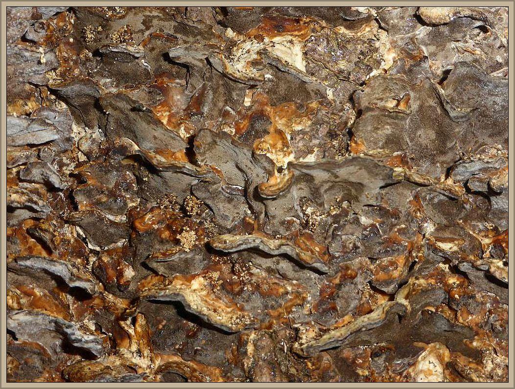 Ein mächtiger, alter Buchenstubben war überzogen mit den Konsolen des Angebrannten Rauchporlings (Bjerkandera adusta). Typisch ist die rauchgraue bis schwärzlichen Porenschicht auf der Unterseite, die wie angebrannt wirkt.