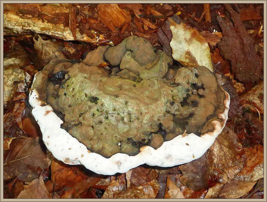 Ungleich häufiger finden wir an Laubholz die Fruchtkörper des Flachen Lackporlings (Ganoderma lipsiense). Hier mit weißer Zuwachszone.