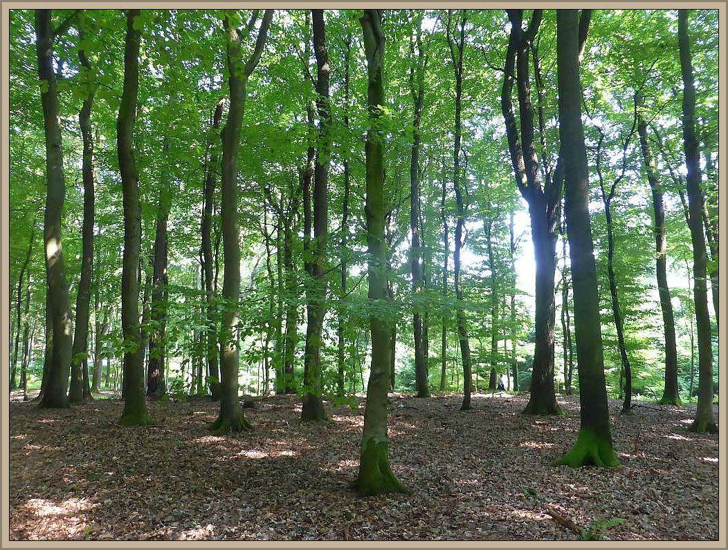 Das Eichholz bei Crivitz, ein überwiegend mit Eichen und Buchen bestandenes Waldgebiet auf sandigen Böden war heute Ziel einer Pilzwanderung.
