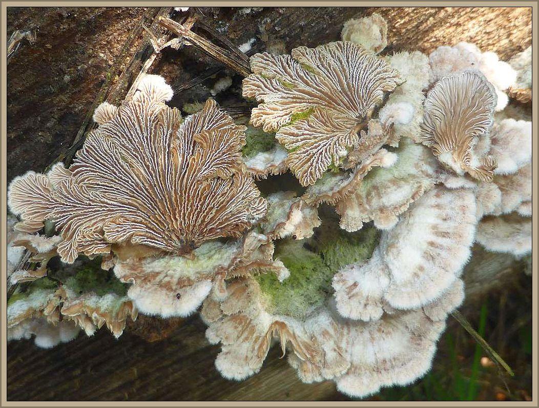 Der Spaltblättling (Schizophyllum comune) besitzt, wie der Name schon andeutet, Lamelle, die er je nach Witterung aufspalten oder schließen kann. Wir finden ihn an besonders trockenen, sonnigen Stelle an Laubholz, meist von Buche.