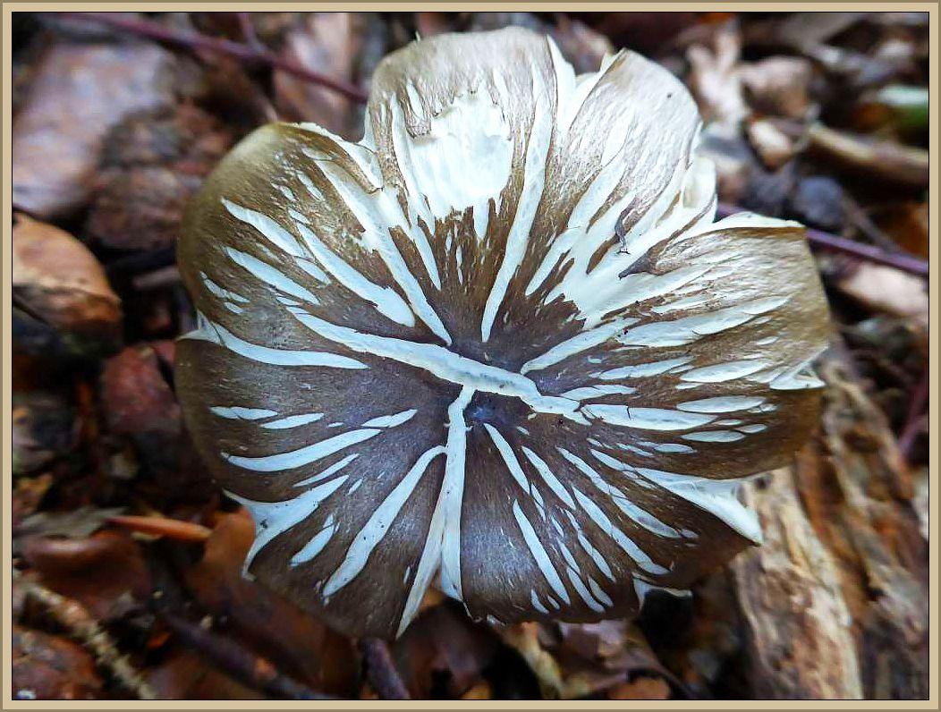 Ein breitblättriger Rübling (Megacollybia platyphylla) mit sehr dekorativer Trockenschädigung. Er ist permanent dem Wind ausgesetzt, die Außenhaut verhärtet, bildet ein Korsett, der Pilz kann sich nicht wie gewohnt srtecken und es entstehen Riße auf der Huthaut.