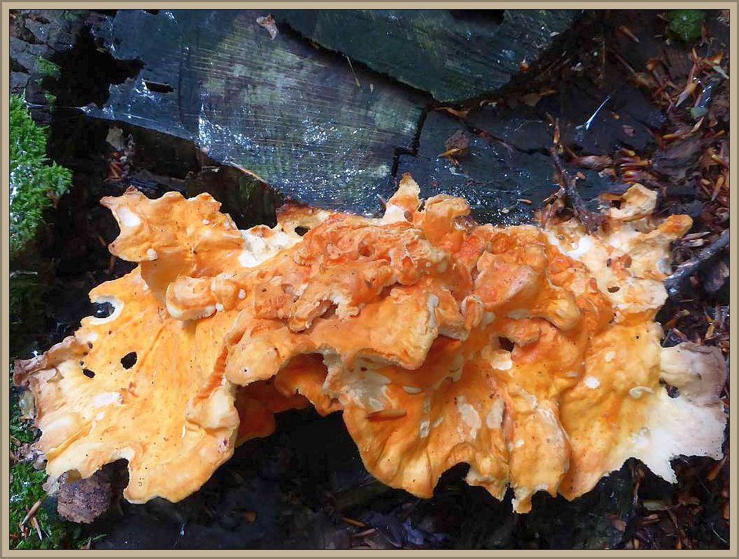 Zum Schluß noch ein schöner Farbtupfen auf einem alten Eichen - Stubben. Ein leuchtend orange gefärbter Schwefelporling (Laetiporus sulphureus) der aber schon sehr verhärtet war und daher als Speisepilz nicht mehr zu verwenden war.