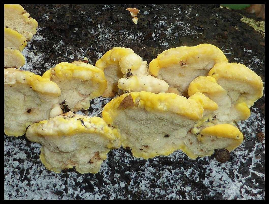 Zum Schluß noch ein Foto von meiner gestrigen Kartierungsexkursion. Wir sehen hier frische Fruchtkörper der Sptzwarzigen Tramete (Antrodiella hoehnelii) an einem liegenden Buchenstamm. Das interessante ist, das dieser Porling immer in der Nachfolge und an gleicher Stelle wächst, vo im Vorjahr Schillerporlinge am Stamm waren. In diesem Fall waren es Knotige Schillerporlinge. Möglicherweise ist der weiße Schorf aus Zersetzungsprodukte oder Schimmelpilze zurückzuführen, die diue noch vorhandenen Rest des Schillerporlings zersetzen.