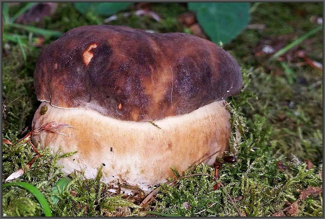 Schwarzhütiger Steinpilz (Boletus aereus) gestern im Schweriner Schloßgarten von Andreas Okrent gefunden und fotografiert. Allerdings mit seinem Handy, daher nicht in der von ihm sonst gewohnten Qualität, aber dennoch schön.