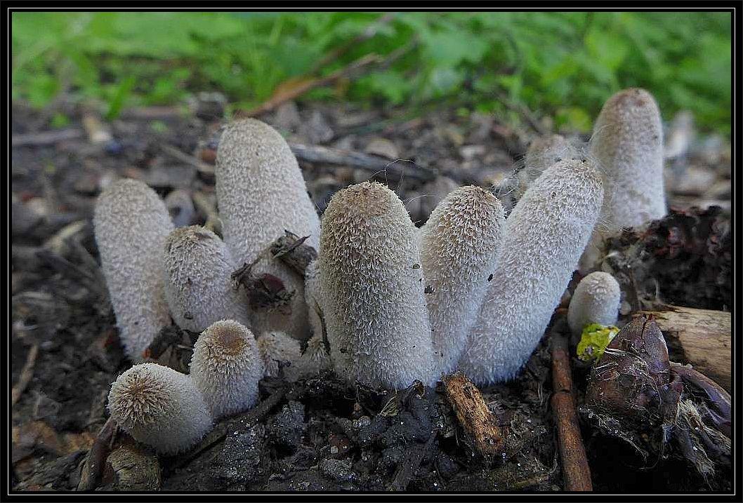 Dieses schöne Foto sandte mir heute unser Lorchelfreund Christian Ehmke zu. Es zeigt eine Gruppe von Hasenpfoten (Coprinopsis lagopus). Außerdem hat er nochmals an seinem Juni - Fundort des seltenen Nadelholz - Röhrlings nachgeschaut und es entwickeln sich tatsächlich zwei neue Fruchtkörper.