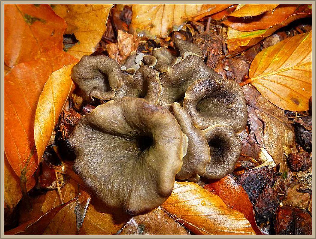 Herbsttrompete (Craterellus cornucopioides). Vorzüglicher Würzpilz.
