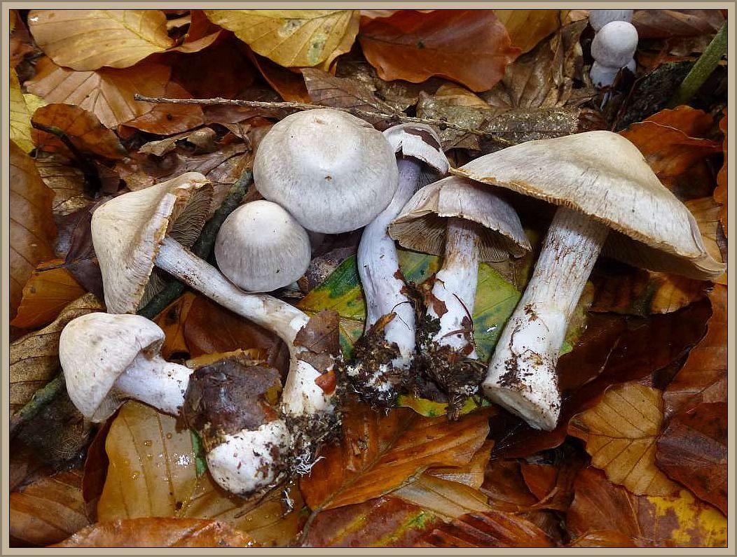 Weißvioletter Dickfuß (Cortinarius alboviolaceus) Essbar.