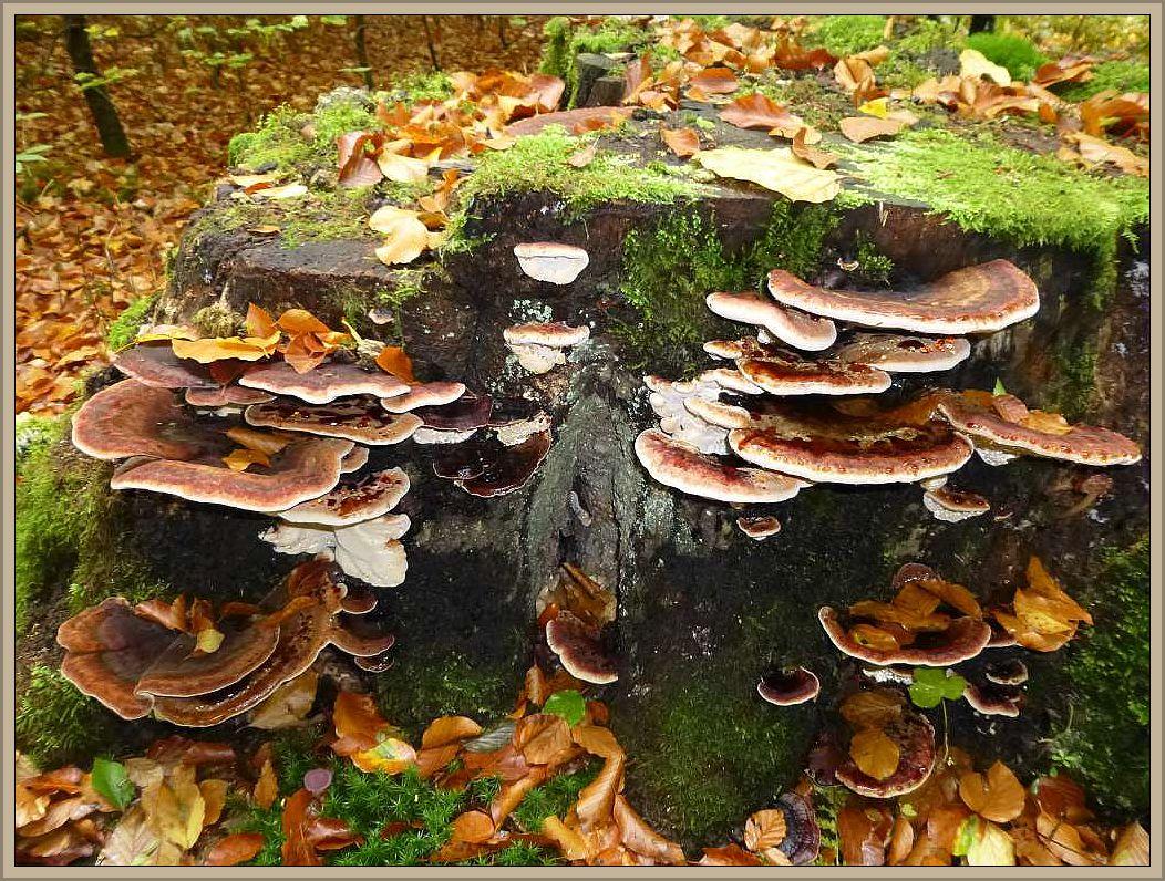 Laubholz - Harzporling (Ischnoderma resinosum) Ungenießbar.