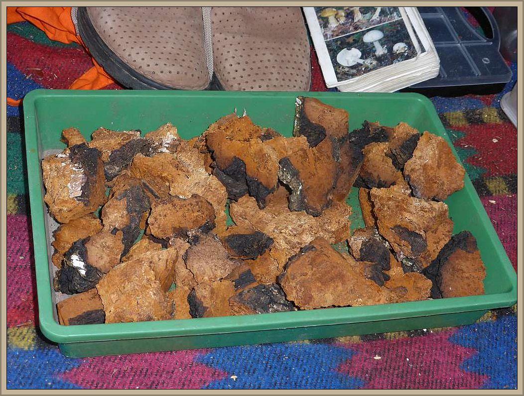 Zunächst stellte uns Klaus Warning die vom ihm aufbereiteten Schiefen Schillerporlinge (Inonotus obliquus) vor, die unter der Bezeichnung Chaga aus Gesundheistee sehr beliebt sind.