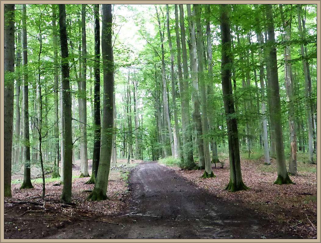 Der Staatsforst Tarnow ist eines der größten zusammenhängenden Rotbuchenwälder Mecklenburg - Vorpommerns.