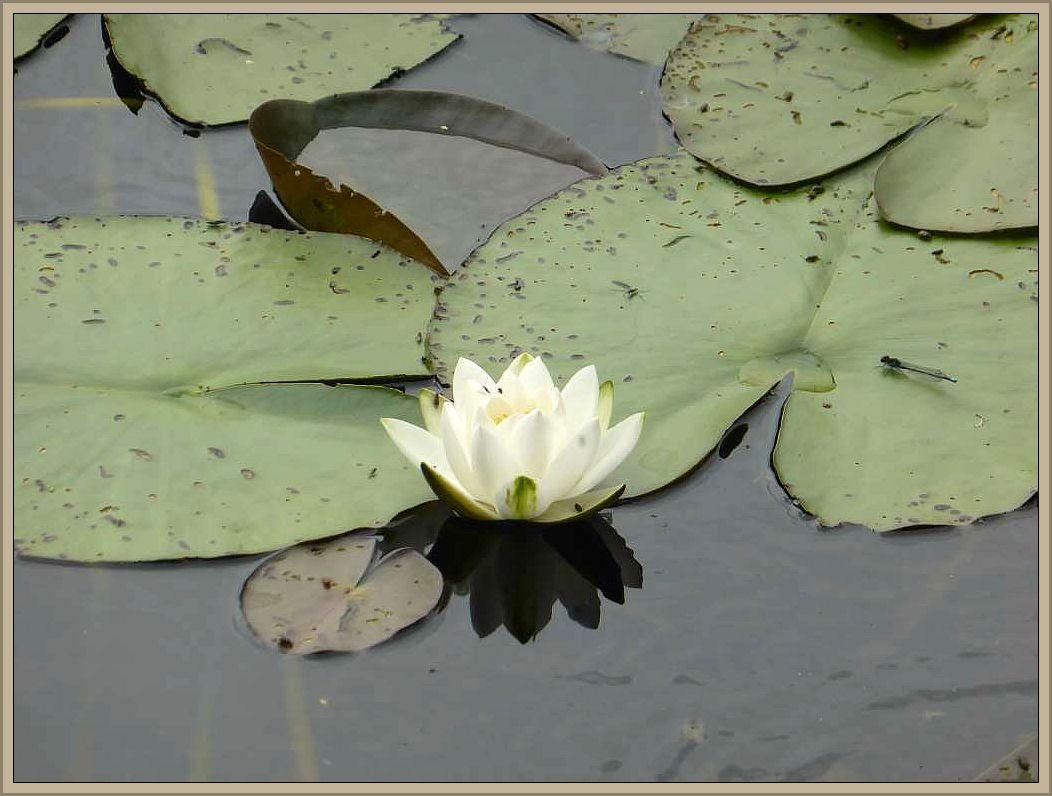 Mit der Weißen Seerose Nymphaea alba. Die schöne Pflanze ist leider giftig!