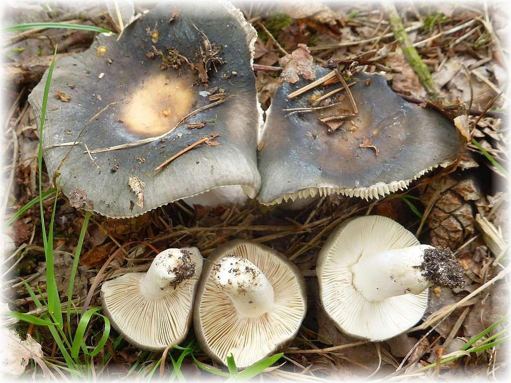 Mitten auf einem grasigen Waldweg noch eine Gruppe mild schmeckender und somit essbarer Täublinge. Es handelt sich um den Blaugrauen Täubling (Russula parazurea).