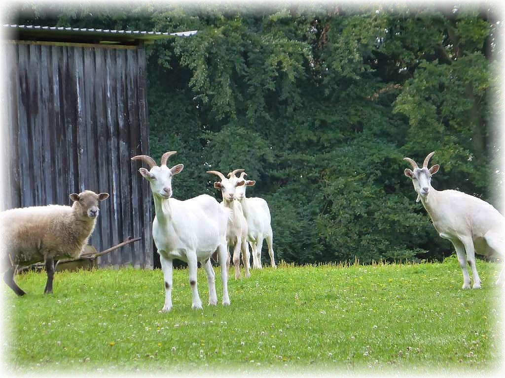 Da staunten sogar die Ziegen und Schafe nicht schlecht, denn wir hatten heute sogar unseren Ziegenpeter mit dabei. Ziegenpeter ist der Spitzname einer unserer Pilzfreunde.