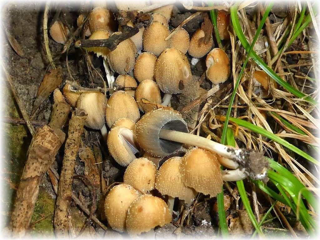 Hier wuchsen büschelweise diese Glimmer - Tintlinge (Coprinus comatus). Ganz jung zwar essvbar, aber nicht sonderlich empfehlenswert, da in Verbindung mit Alkohol giftig!