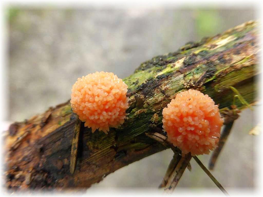 Ein weiterer Vertreter der Myxomyceten (Schleimpilze) wäre dieser häufige und auffällige Himbeerrote Schleimpilz Tubifera ferruginosa).