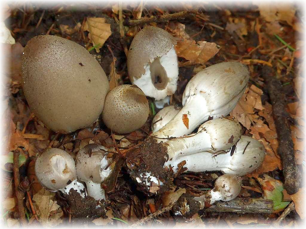 Diese großen, grauen Tintlinge wuchsen am Wegesrand. Ich denke, es dürfte sich um den Langsporigen Falten - Tintling (Coprinus acuminatus) handeln. Eine mikropische Untersuchung könnte Aufschluß lieferrn.s