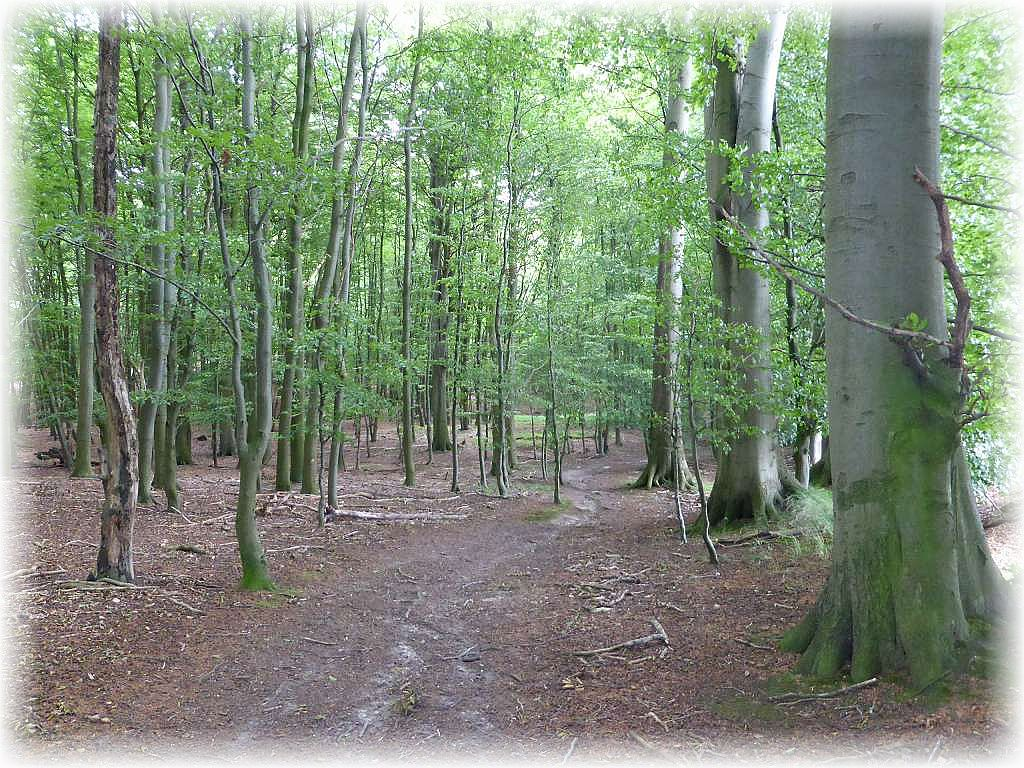 Besonders am Rande des Hütter Wohldes findet wir imposante Altbuchen und Eichen. Der ausgehagerte Waldboden kann eine sehr interessante Pilzflora hervorbringen. Heute waren vor allem Täublinge, einige Pfifferlinge, Stein- und Sommersteinpilze vertreten.