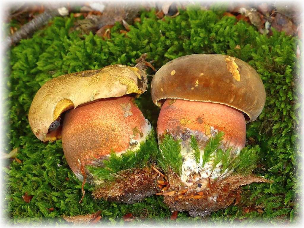Natürlich auch eine gute Adresse für Flockenstielige Hexen - Röhrlinge (Boletus luridiformis), einer unserer wertvollsten Speisepilze.