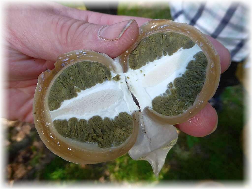 Die zukünftige Stinkmorchel (Phallus impudicus) noch als Innenleben eines sogenannten Hexeneis). In diesem Stadium noch essbar und von einigen Kennern sehr geschätzt!