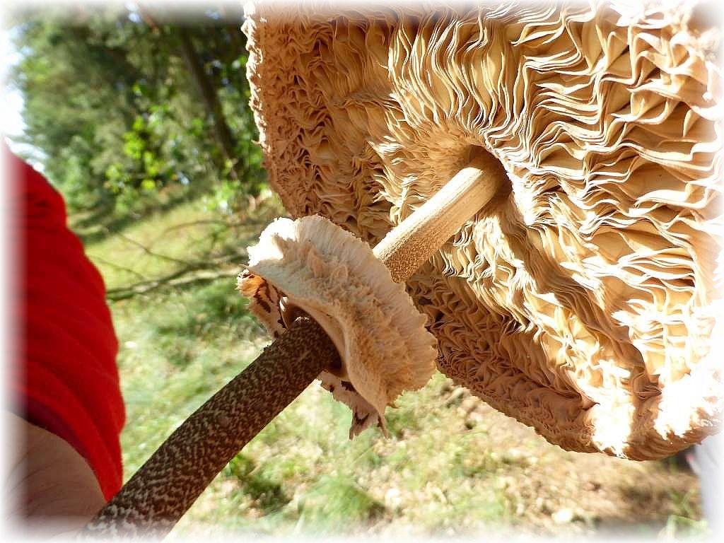Stellvertretend auch für andere Pilze des sonnigen Waldrandes soll dieser Parasol (Macrolepiota procera) das trockene Sommerwetter verdeutlichen. Die Pilze vertrocknen sehr schnell. Gut ist der dicke, doppelrandige Ring zu sehen, der nur leicht am Stiel angeheftet ist und bei vorsichtiger Lösung am Stiel verschiebbar ist.